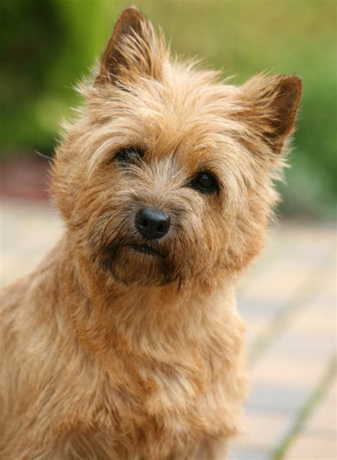 pictures of cairn terrier haircuts hairstyle gallery dog