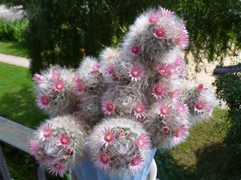 fiori di cactus piante cactus piante grasse cactus pianta