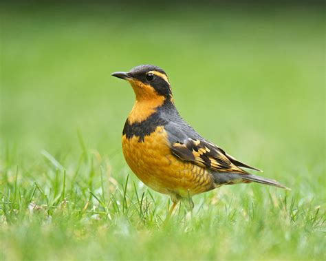 secretive varied thrush birdnote