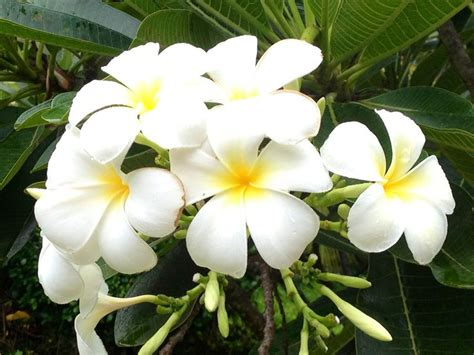 fiore tiare 42 best images about tiare flower on flower