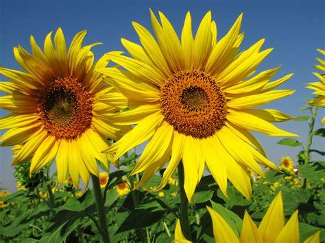 Bunga Matahari Sunflower image gallery bunga matahari