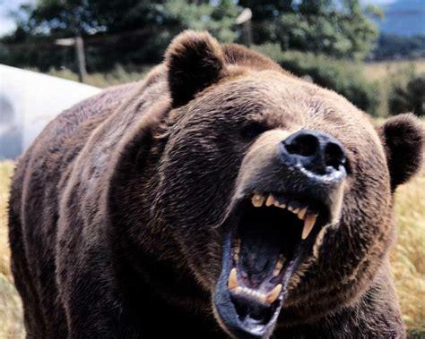 black bears football angry black bear photo