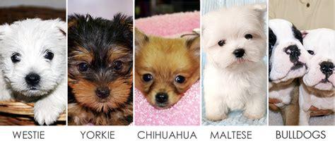 manhattan puppies boutique puppy kitten dealer of manhattan new jersey