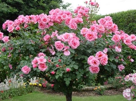 Pupuk Organik Untuk Bunga Matahari budidaya tanaman bunga dengan baik dan benar by