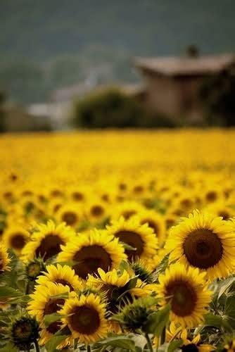 significato fiori girasole significato girasole 1 significato dei fiori