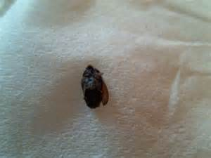 bed bug wings pictures bangdodo