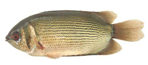 peluang usaha budidaya ikan indonesia peluang usaha budidaya ikan tembakang dan analisa usahanya