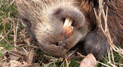 how to a to hunt small how to hunt groundhogs small realtree