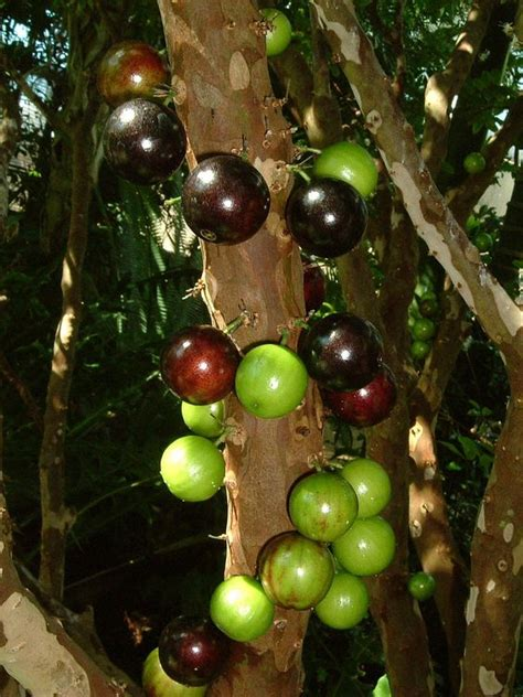 what is a of fruit trees called jabuticaba myrciaria cauliflora mart also called