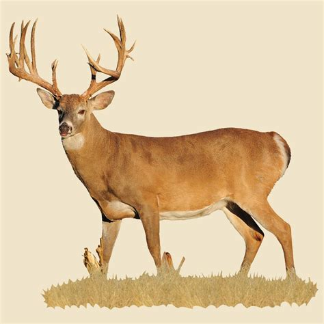 left buck whitetail buck indoor wall graphic broadside view with