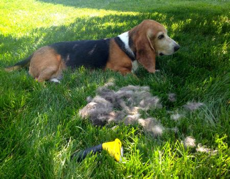 Coonhound Shedding by Faq Do Basset Hounds Shed A Lot