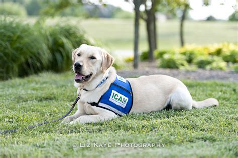 learn to service dogs about ican dogs skilled companion disability assistance dogs
