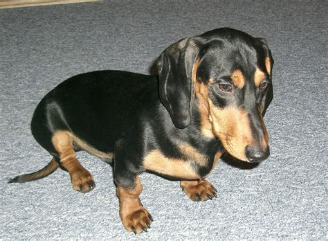 dackel suchen ein zuhause kurzhaardackel schweizerischer dachshund club ost