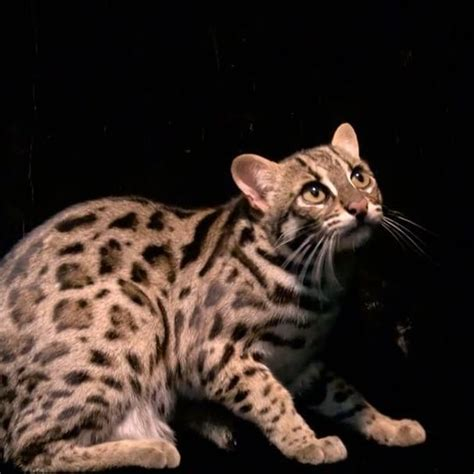 leopard house cat 402 best nature science animals images on pinterest animals nature and beautiful