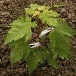 maple tree varieties information  maple tree