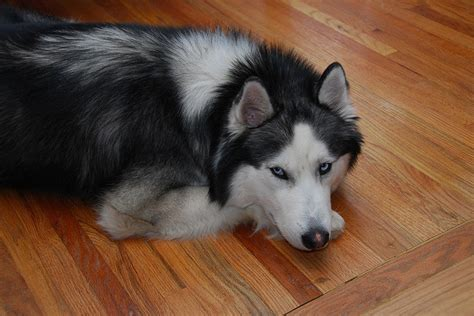 Do Siberian Huskys Shed by 19 Things Only Siberian Husky Owners