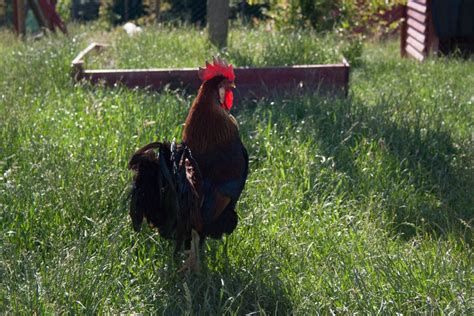 quali sono gli animali da cortile la fattoria degli animali ora 232 in agriturismo nelle marche