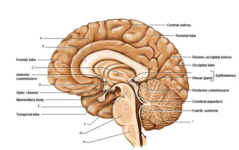 midsagittal section of the brain sagittal view in diagram labeled sagittal get free image