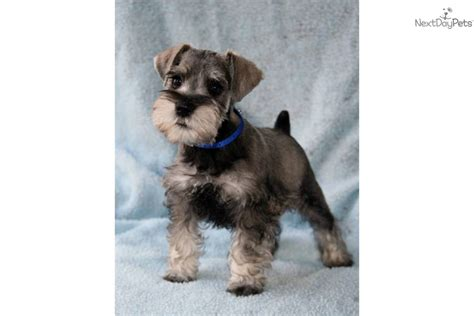 miniature schnauzer puppies for sale in sc schnauzer miniature puppy for sale near florence south carolina a4f63f7d 0d41