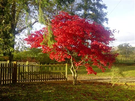 japanese maple trees for sale online at trees direct