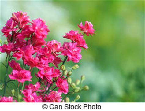 delphinium fiore fiore delphinium foto d archivio cerca immagini e foto