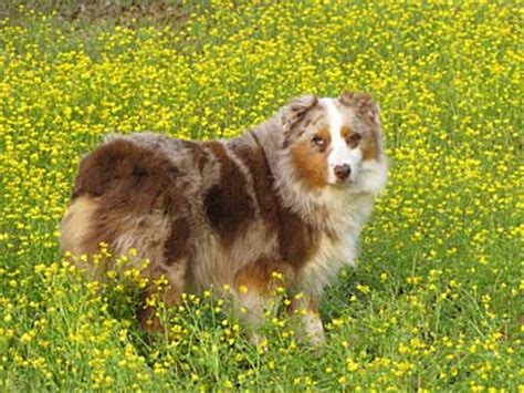 australian shepherd puppies for sale in louisiana australian shepherd breeders louisiana
