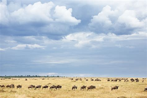 These Constantly Migrate In Search Of Food Beautiful Dangerous Animals Pets Of Africa Dangerous Wildebeest Animal Migration