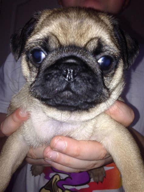pugs uk pugs for sale grays essex pets4homes
