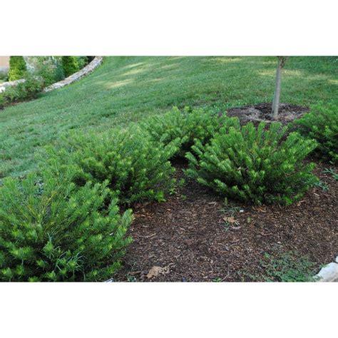 Cephalotaxus Duke Gardens by Jc Raulston Arboretum
