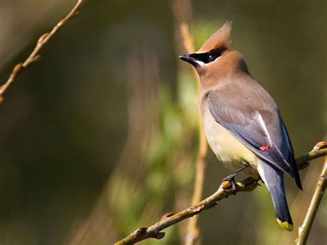 cedar waxwing willapa u s fish and wildlife service