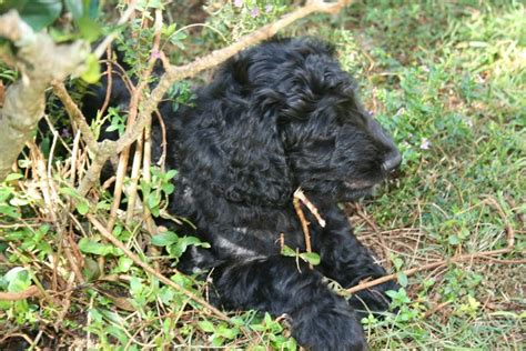 Goldendoodles For Sale In Hawaii The Honolulu Doodle Club