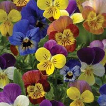 Isi 50 Biji Benih Biji Herb Sweet Marjoram 1 benih viola chicky 3 biji non retail bibitbunga