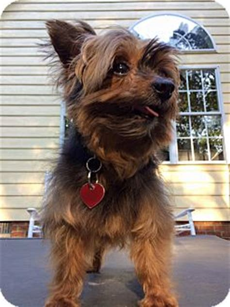 yorkie rescue va richmond va yorkie terrier meet chuchi a for adoption