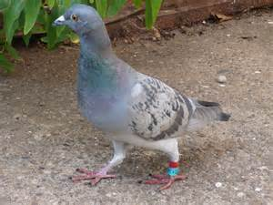 wiki homing pigeon upcscavenger