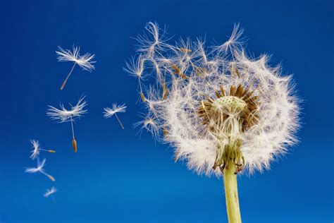Dandelion Wishes stardreaming with sherry blue sky dandelion wishes