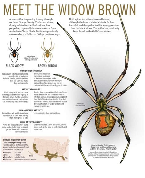 how to get rid of spiders from christmas tree how to get rid of brown widow spider picture how to get rid of brown widow spider egg sacs in
