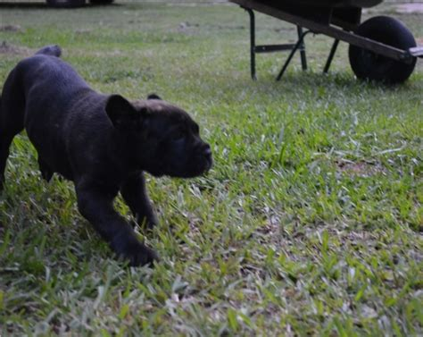corso puppies for adoption beautiful akc registered labrador puppies 34429 for sale ocala pets dogs