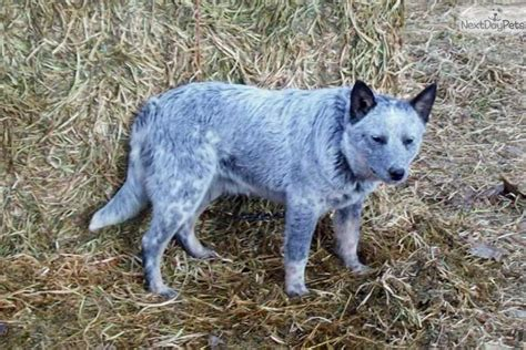 puppy blues queensland blue heeler puppies for sale breeds picture
