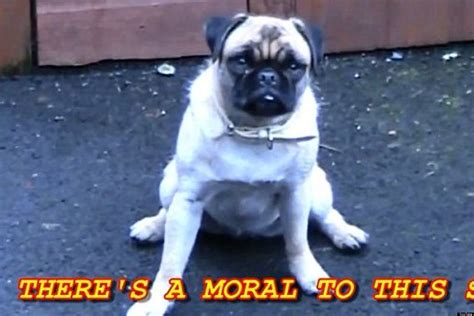 loca the pug loca the pug that couldn t run shows why pugs rule huffpost