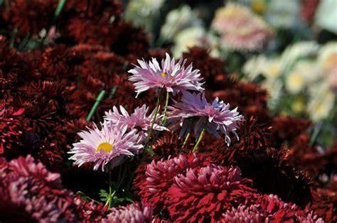 Pupuk Yang Baik Untuk Bunga Krisan cara merawat bunga krisan yang baik tanaman hias