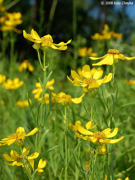 coreopsis palmata prairie coreopsis minnesota wildflowers