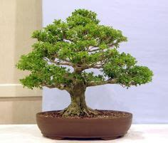 the bonsai beginner s bible octopus bible series books 1000 images about boxwood bonsai on bonsai