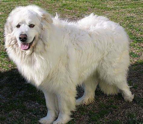 big fluffy dogs types of large white dogs pictures to pin on
