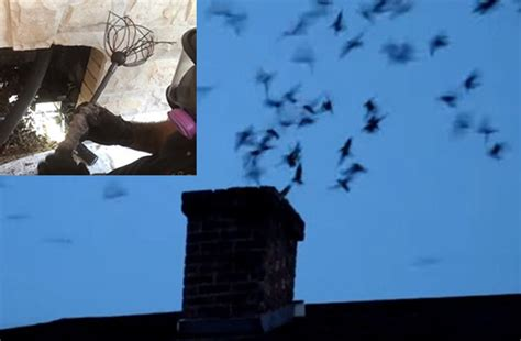 How To Get Bird Out Of Fireplace by Birds In The Chimney How To Get Birds Out Of Your Chimney