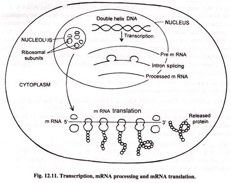 protein synthesis diagram protein synthesis translation with diagram
