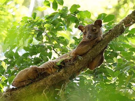 17 Best images about Fossa on Pinterest | Madagascar ...