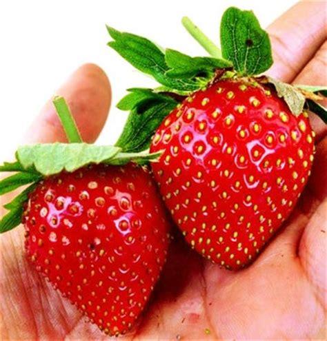 Bibit Strawberry bibit strawberry