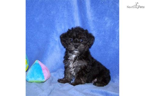 yorkies personality yorkiepoo yorkie poo puppy for sale near fredericksburg virginia 5ab58f70 f921