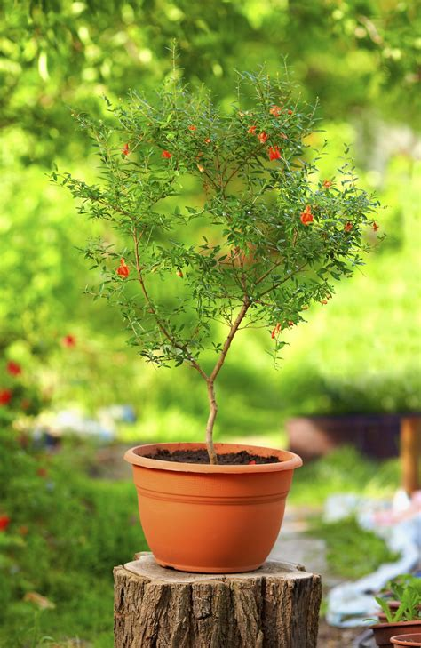 tips  pomegranate growing caring  pomegranate