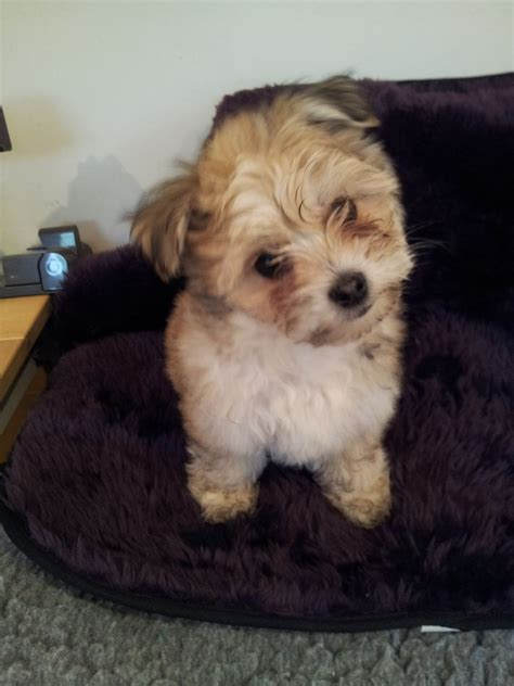 yorkie coton gorgeous yorkie tons 3 4 coton de tulear frome somerset pets4homes